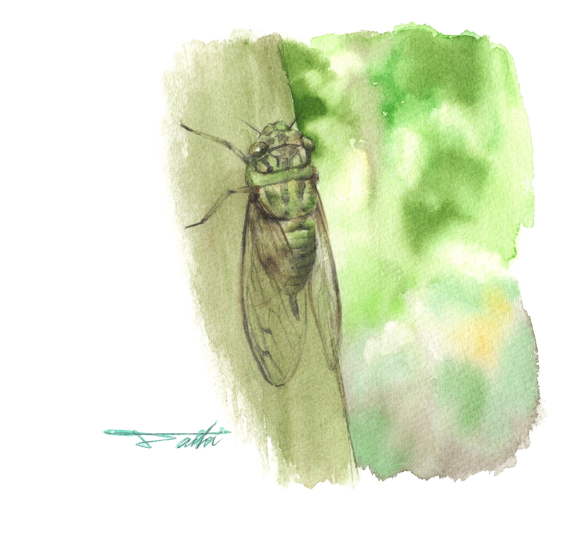 ツクツクボウシ 水彩昆虫イラスト